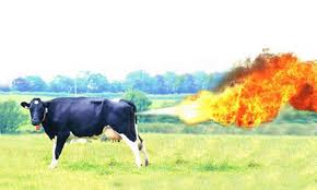 Increased production of gas inside the digestive tract - picture of a cow farting